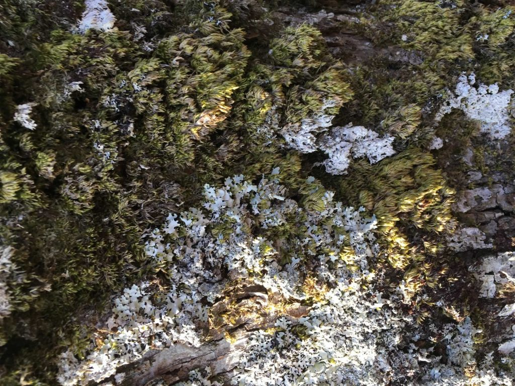 Moray Finch - 20180224 - Lichen Moss Oak Tree