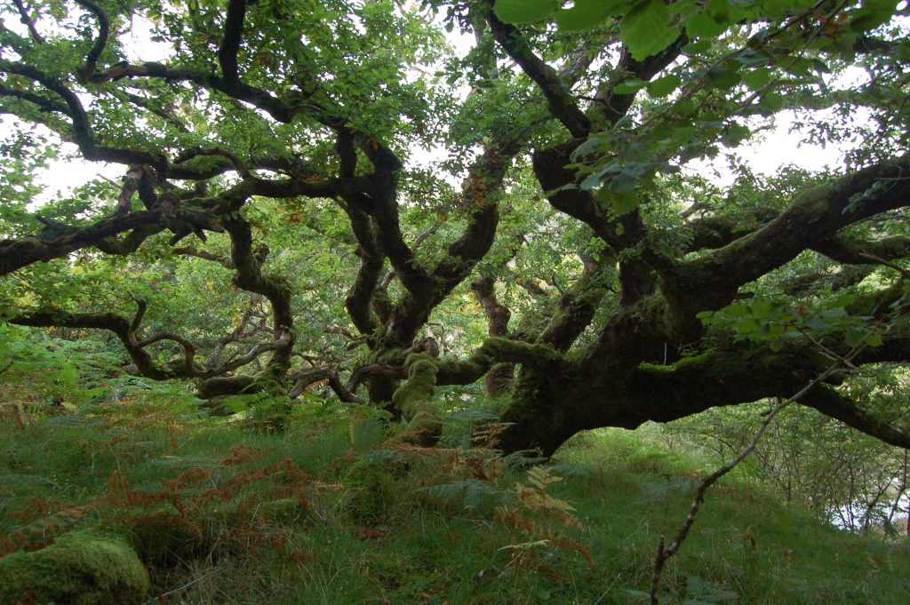 Mull native Oak