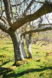 Ash tree on the isle of Mull