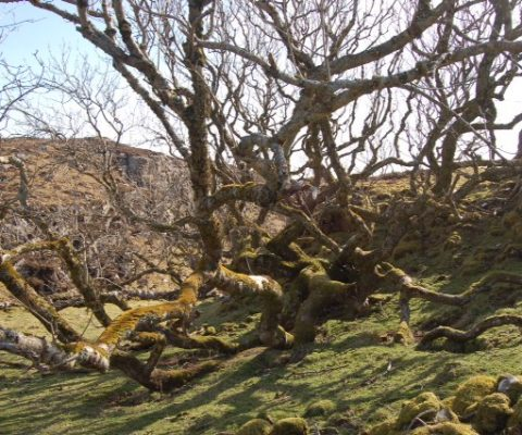 The Old Ash Tree of Crackaig