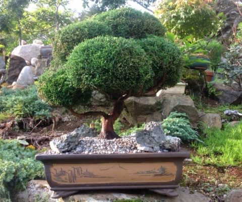 Nick's Yorkshire Juniperus Communis